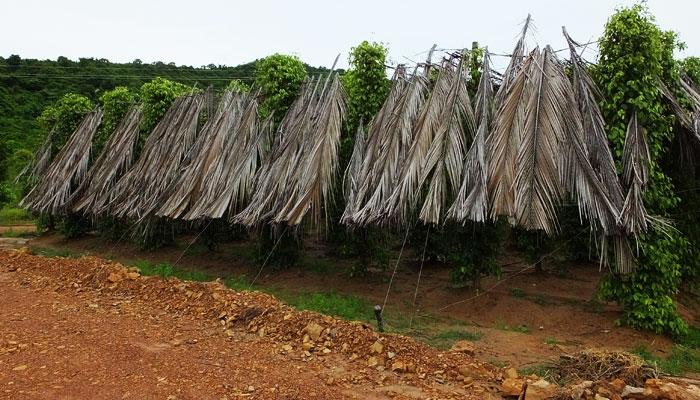 Plantation de poivriers à Kampot © Doré Elisa