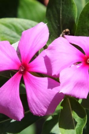 Fleur de l'impatience -Pré Rup