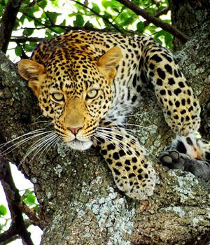 Léopard - Tanzanie